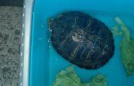 Rubano una tartaruga al Nucleo Subacqueo Cerveteri Onlus.